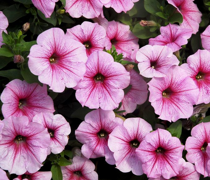 petunia-sunpleasure-cherry-vein