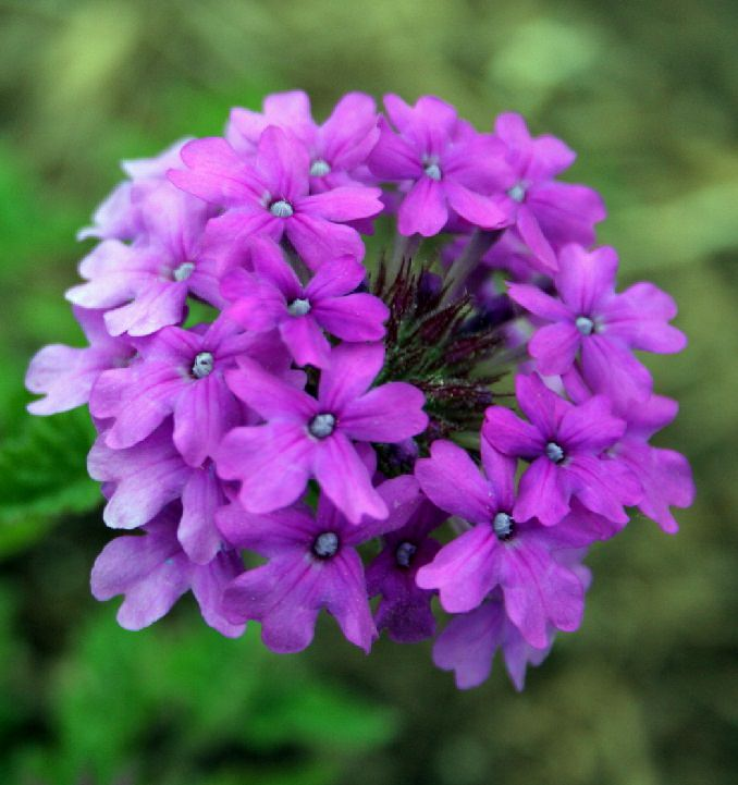purple-verbena