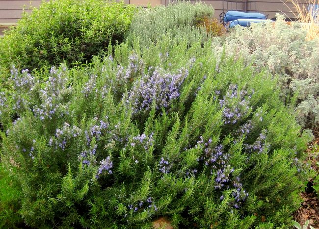 growing rosemary in pots is easy