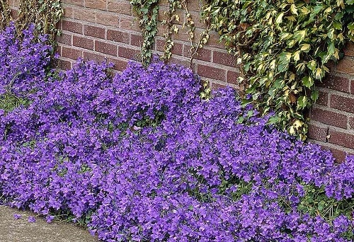 Best Flowering Ground Cover Plants 6