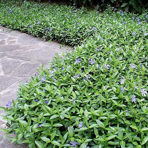 Best Flowering Ground Cover Plants 7