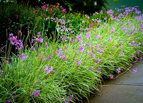 Best Flowering Ground Cover Plants 9