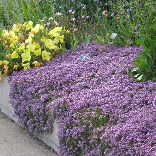 Best Flowering Ground Cover Plants 4