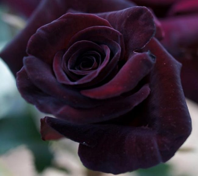 Black Baccara' Rose