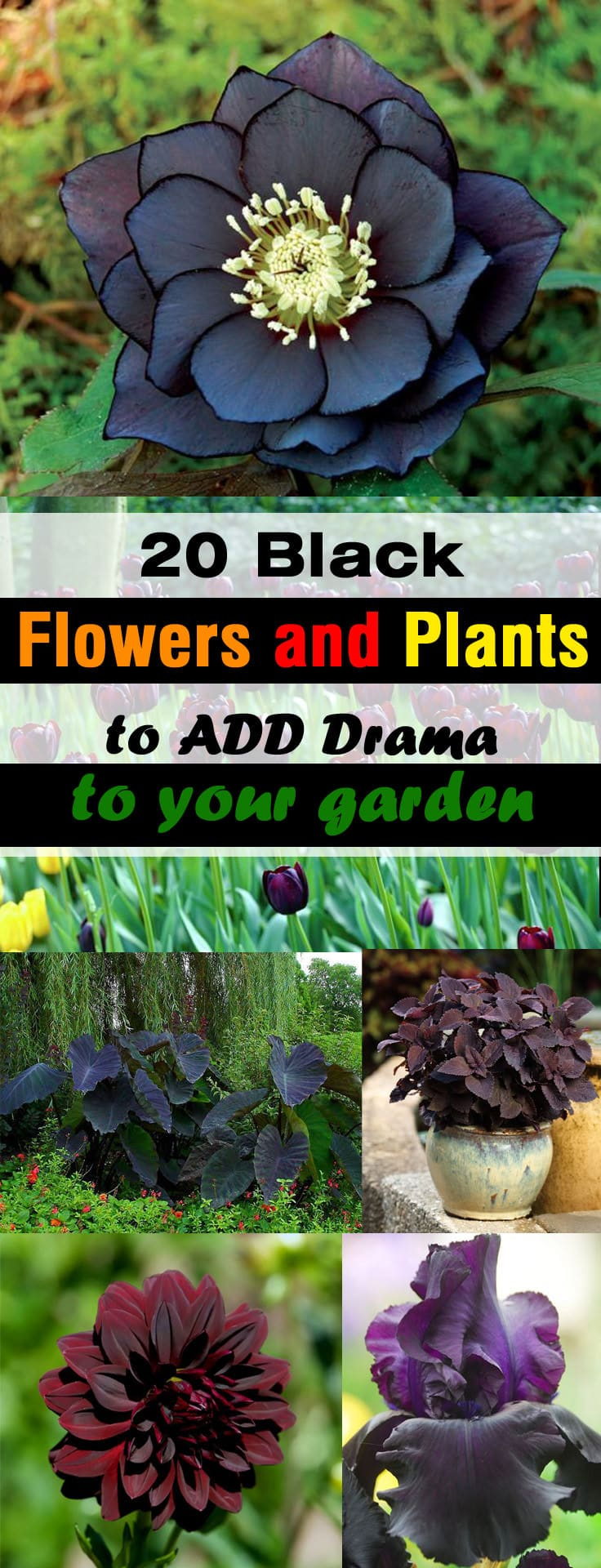 20 BLACK Flowers And Plants to Add Drama To Your Garden | Balcony ...