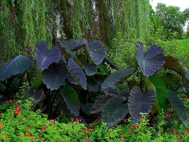 Colocasia 'Black Magic' 5