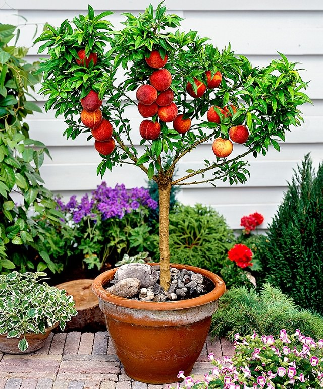 Dwarf Bonanza Peach Tree