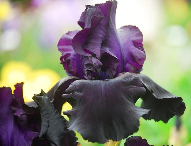 Iris 'Before the Storm'