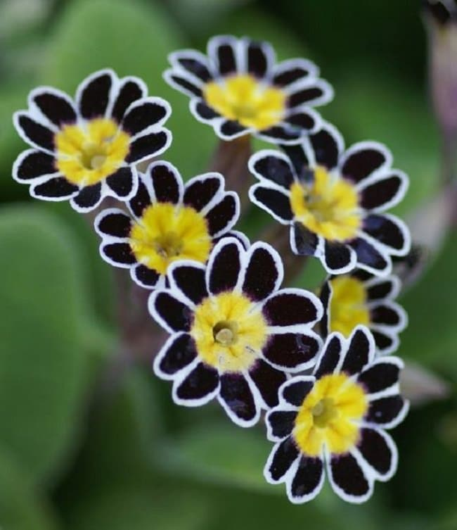 Silver-Laced Primrose - Copy