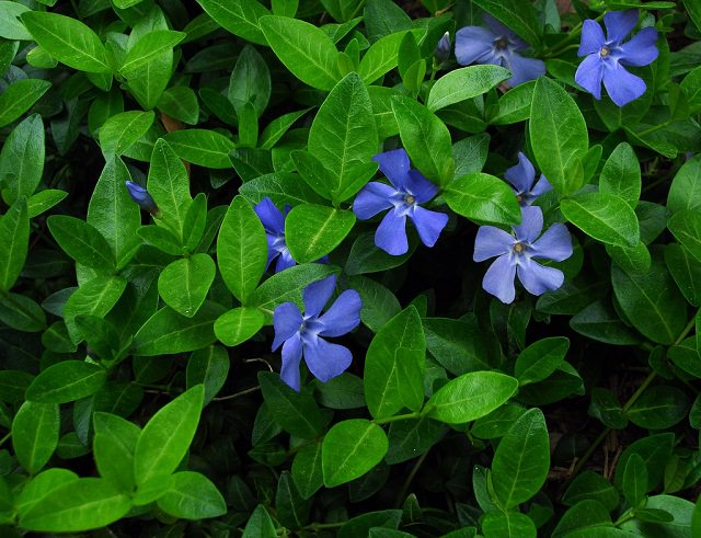 One Of The Most Por Groundcovers It Is A Hardy Plant In Both Cold And Warm Climates Under Usda Zones 4 10a That Spreads Quickly