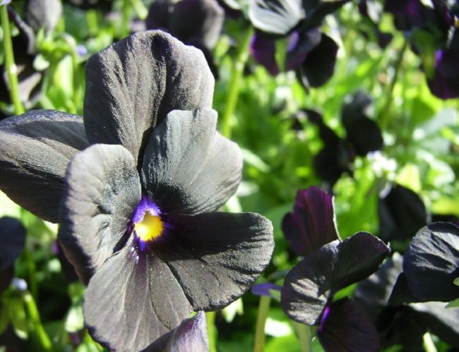 20 black flowers and plants to add drama to your garden balcony viola molly sanderson 2 mightylinksfo