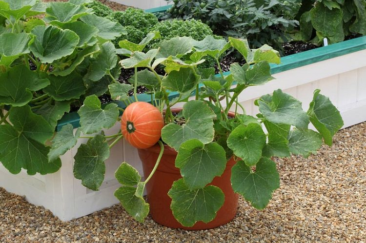 Windsor Pumpkin In Pot