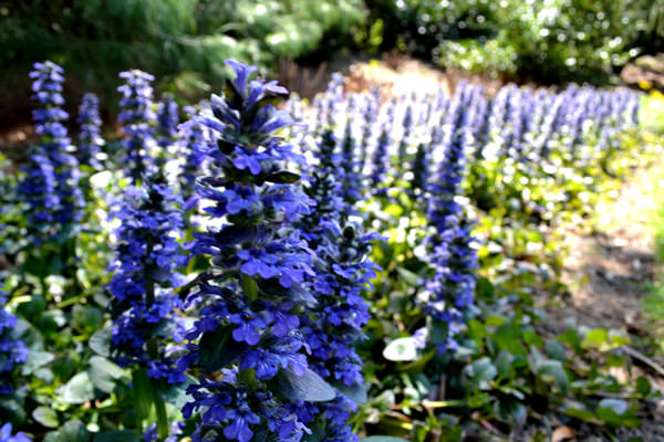 Ajuga Reptans 'Jungle Beauty'