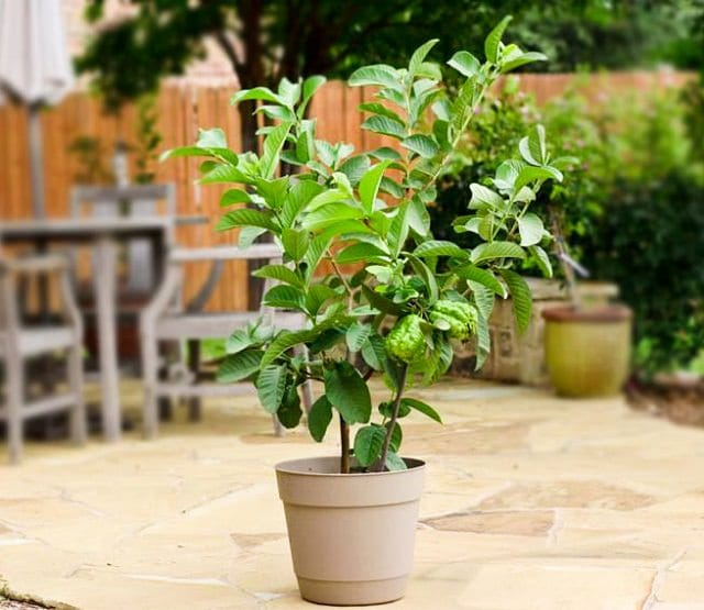 guava-tree-in-pot 2