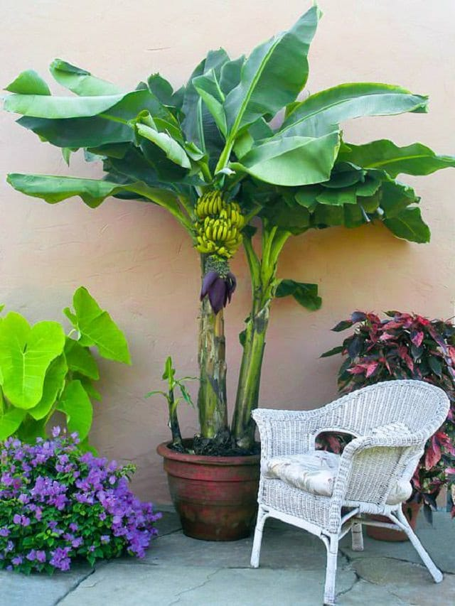 how-to-grow-banana-in-pots 2