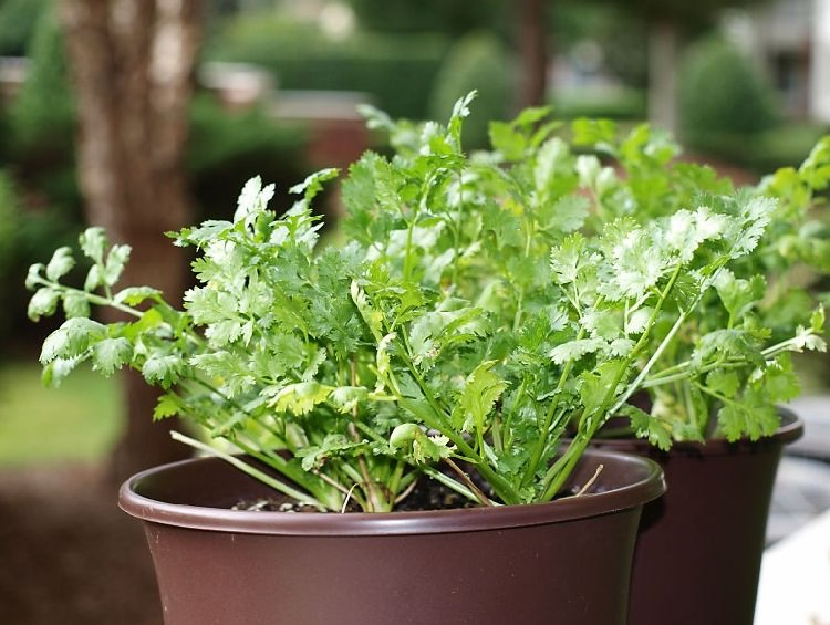 how to grow cilantro in a pot growing coriander in containers balcony garden web. Black Bedroom Furniture Sets. Home Design Ideas