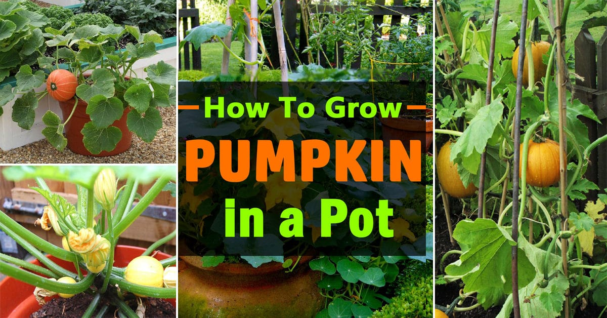 Growing Pumpkins In Containers How To Grow Pots Balcony Garden Web