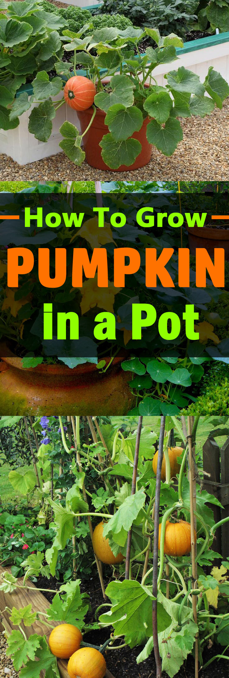 Learn How To Grow Pumpkins In Pots Growing Containers And Is Not
