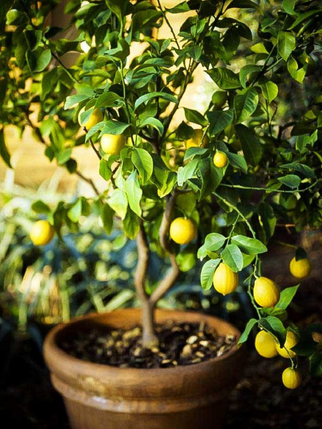Lemon Tree In Pot 2