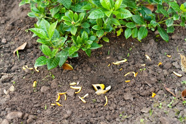 Banana Peels & Orange Peels in the Garden