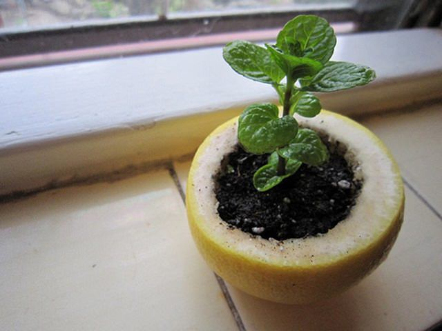 Citrus-Peel-Starter-Pot2