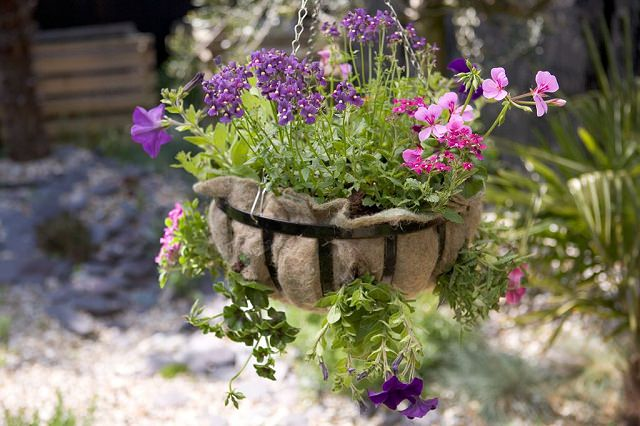 Geranium, nemesia and petunia in a hanging basket