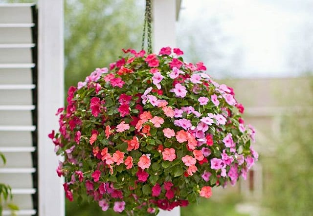 Impatiens in hanging basket