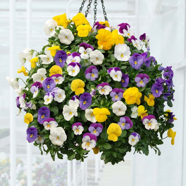 Pansy in hanging basket