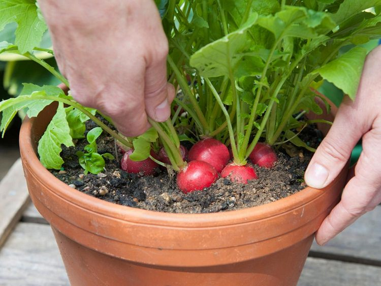 Genial Radish In Container