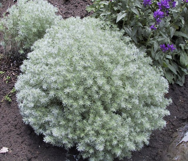 Silvermound Artemisia