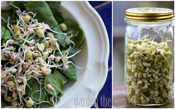 Sprouting IN Mason-Jar