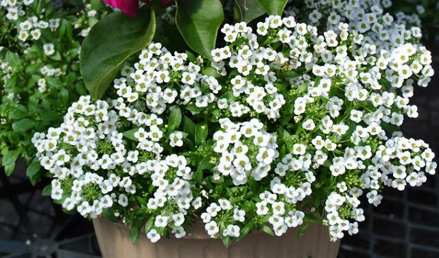 Sweet Alyssum in hanging basket
