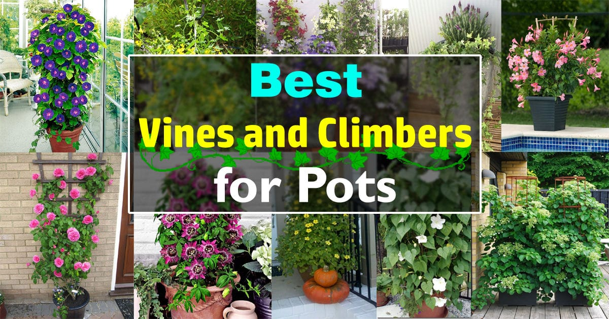 Attirant 24 Best Vines For Containers | Climbing Plants For Pots | Balcony Garden Web