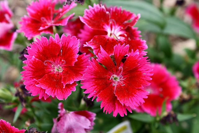 dianthus in hanging basket