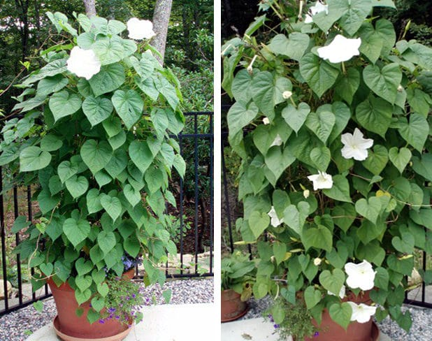 moonflower in pot