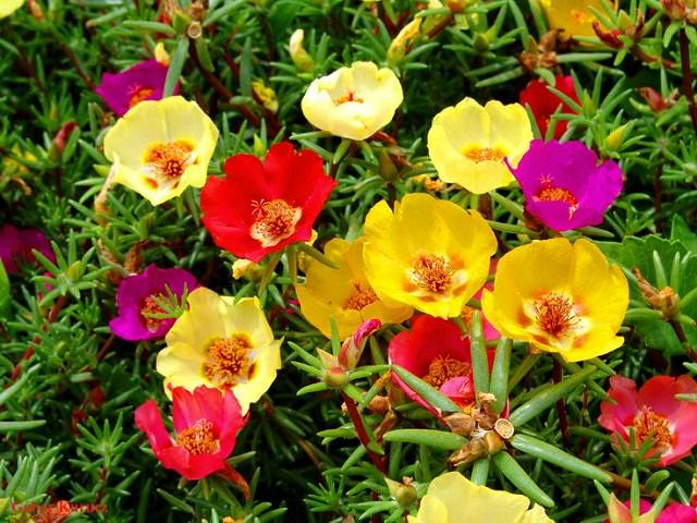 Moss Rose Or Portulaca Is A Drought Tolerant Flowering Plant That Thrives In Dry Poor Soil Due To Its Thick Succulent Leaves It Can Survive For Long