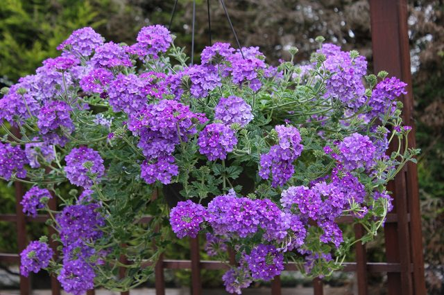 verbena in hanging basket