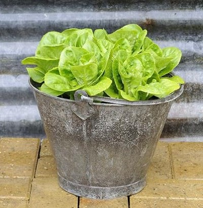 Growing Lettuce In Containers 2
