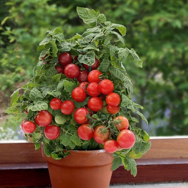 Tomatoes on windowsill