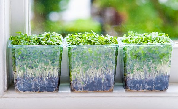 microgreen on windowsill