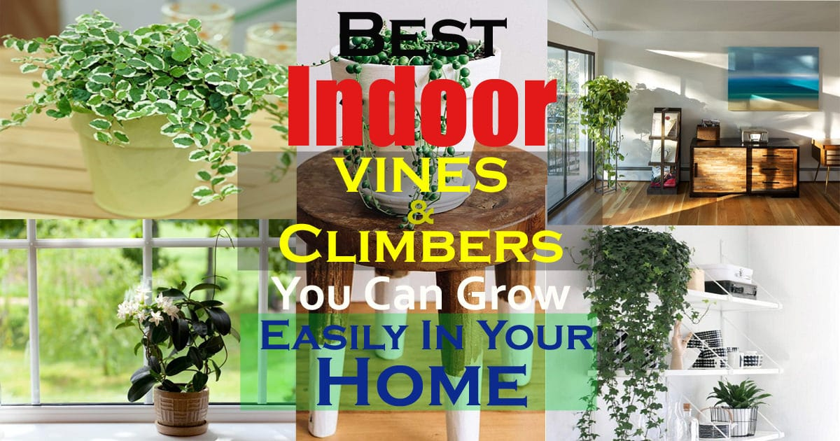 11 Best Indoor Vines And Climbers You Can Grow Easily In ... Names Of Large Indoor Houseplants on names of large trees, names of large flowers, tropical houseplants,