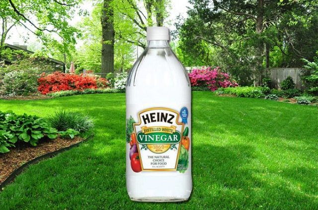 if-you-use-vinegar-in-the-garden-th