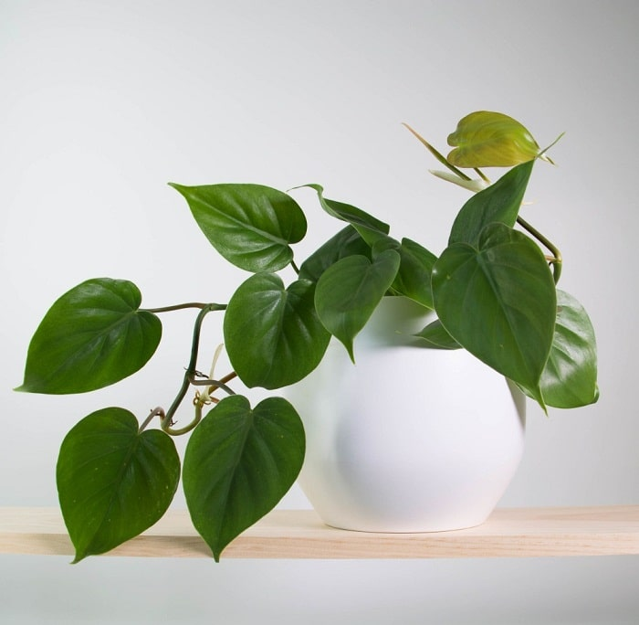 11 Best Indoor Vines And Climbers You Can Grow Easily In