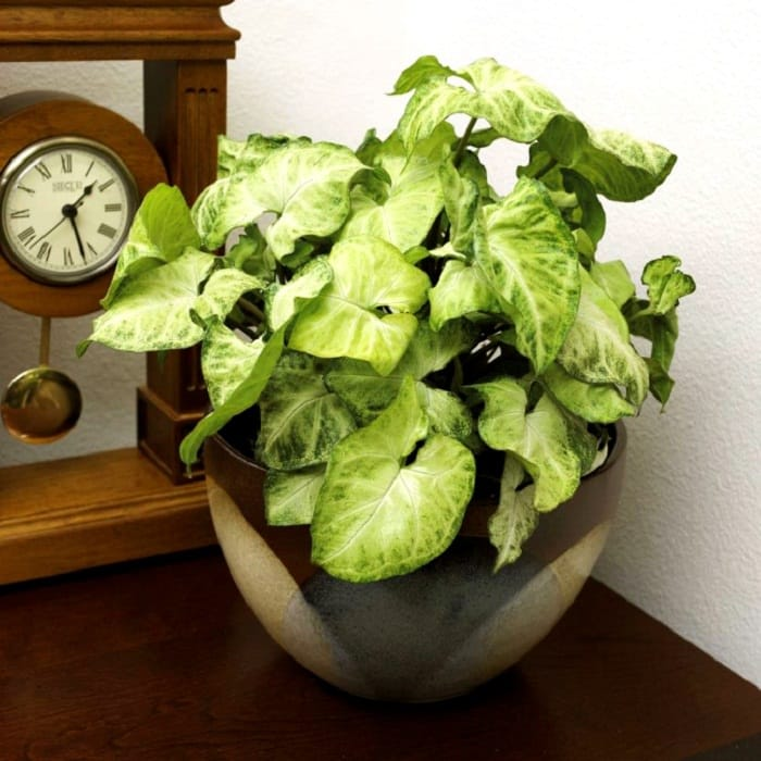 11 Best Indoor Vines And Climbers You Can Grow Easily In ... Common Houseplant Vine Inside on common vine cactus, common houseplants green, most common flowering houseplants, common houseplant names, common poisonous houseplants, common houseplants philodendron, common vine flowers, common houseplants good in shade, common palm houseplants, common plants, common vine weeds, common succulent houseplants, common houseplants care of,
