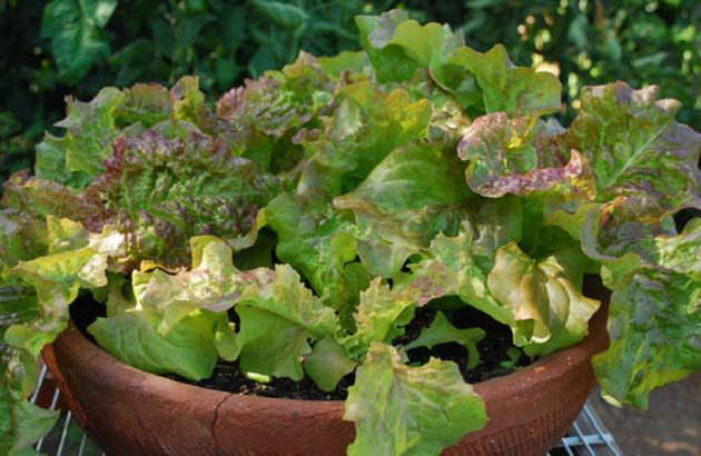 potted-lettuce