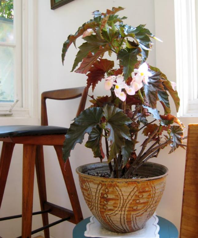 Although Begonias Are Considered As Outdoor Plants There Many From Begonia Genus That Makes Great Flowering Houseplants