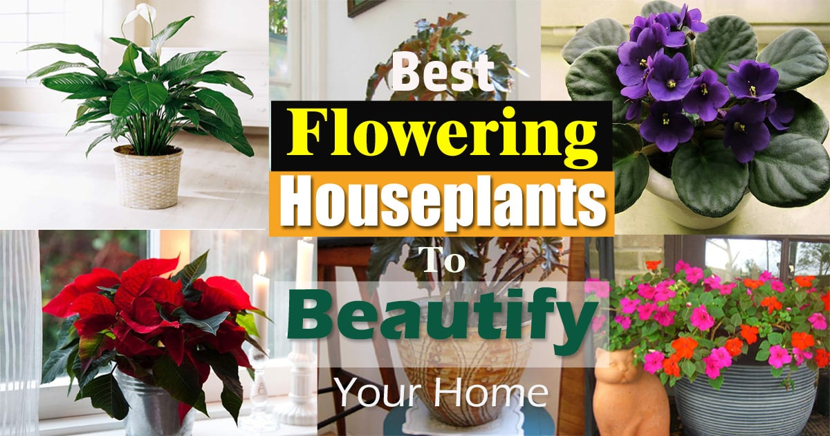 17 Best Flowering Houseplants | Balcony Garden Web Long Lasting House Plants on colorful house plants, non-toxic house plants, small house plants, soothing house plants, robust house plants, weather proof house plants, hypoallergenic house plants, fragrant house plants, lightweight house plants, compact house plants, organic house plants, portable house plants, rugged house plants, elegant house plants, night blooming house plants, refreshing house plants, cool looking house plants, inexpensive house plants, strong house plants, easy to maintain house plants,
