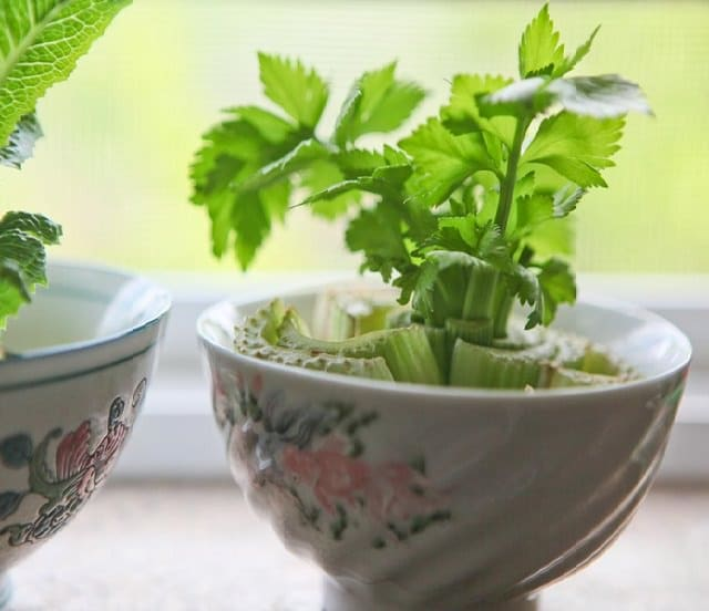 Grow Celery In Water