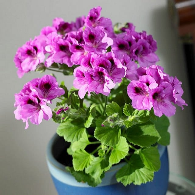 how-to-grow-geranium-indoors-2