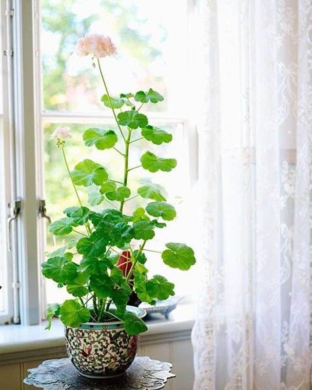 Growing Geranium Indoors: location
